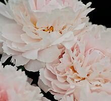 Peony - Experitmantal farms, Ottawa, ON by Tracey  Dryka