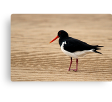 Pied Oystercatcher Canvas Print