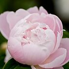 Pink Peony - Experimental Farm, Ottawa, ON by Tracey  Dryka