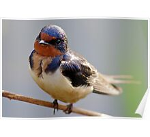 This Precocious Barn Swallow Again! Poster