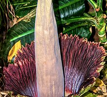 Corpse Flower by Cheryl  Lunde