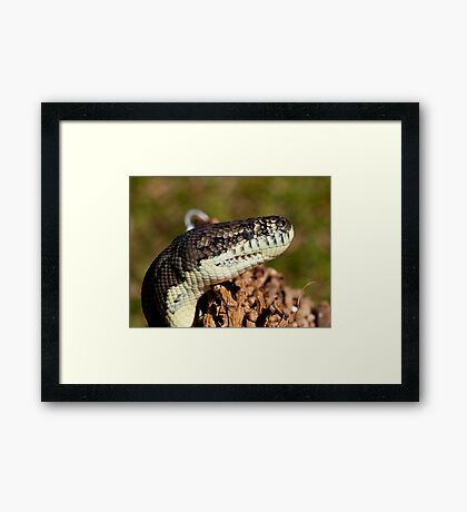 Coastal Carpet Python - Cairns - Australia Framed Print