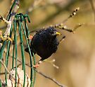 Starling by Nigel Bangert