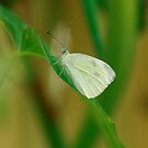 Cabbage White by eaglewatcher4