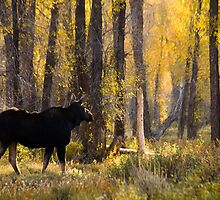 Moose Under Fall Cottonwood Trees by cavaroc