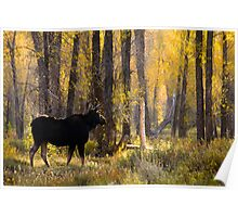 Moose Under Fall Cottonwood Trees Poster
