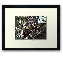 Lace Monitor - Bells Phase Framed Print