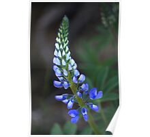 Wild Perennial Lupine Poster