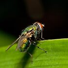 blowfly by Ashley P