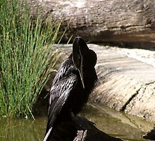darter in the sun by Ashley P