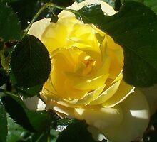 Chameleon Rose Sunshine by Erica Long