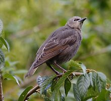 Baby Starling on my Cherry Tree by AnnDixon