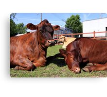 Three Big Mooo Canvas Print