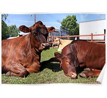 Three Big Mooo Poster
