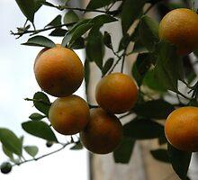 orange tree by bayu harsa