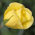 Yellow Rose by Dennis Cheeseman