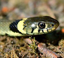 Grass Snake by Robbie Labanowski