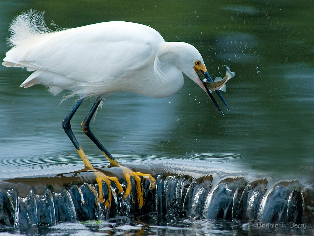 Snowy Egret catching fish by Bonnie T.  Barry