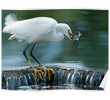 Snowy Egret catching fish Poster