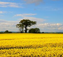 Rapeseed Field by dunawori