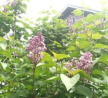 Nature has heART, lilacs behind the cabin by TFRICE