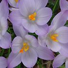 crocusse in my garden by dshones