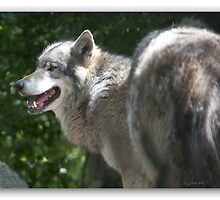 Canis Lupus by John44