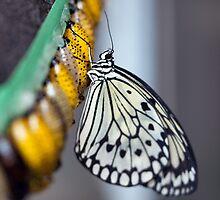 Fresh Butterfly by Darren Bailey LRPS