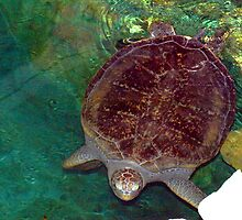 Sea turtle at the aquarium. by ♥⊱ B. Randi Bailey