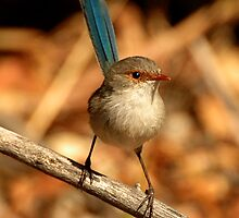 Splendid fairy wren      An Australian beauty by Grandalf