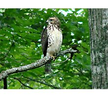 Young Red-Tailed Hawk Photographic Print