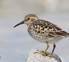 The Least Sandpiper by DigitallyStill