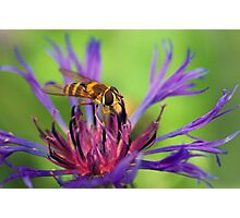 *Sipping nectar* Photographic Print