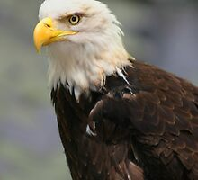 Bald Eagle by Jcook