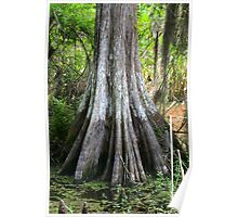 Cypress Tree Poster