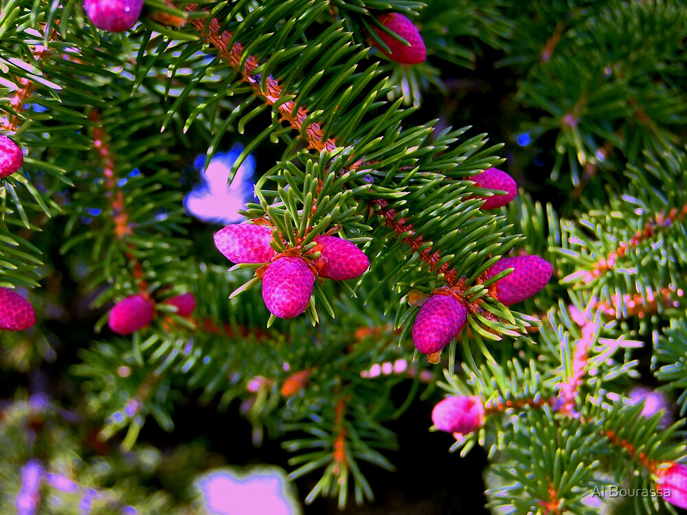 Alberta Budding Pinecones by Al Bourassa