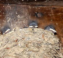 Sleeping Barn Swallows by David Lee Thompson