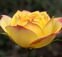 chameleon rose III by Floralynne