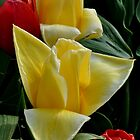 red and yellow tulips at kingwood center by 1busymom