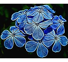 Painted Plumbago Photographic Print