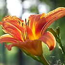 Day Lily by Michele Markley