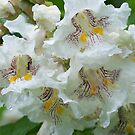 Catalpa Blossoms by Michele Markley