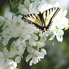 Yellowbutterfly in Arctic crabapple blossoms by eoconnor