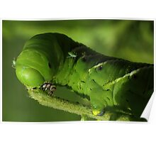 Tobacco Hornworm with Aphids  Poster