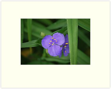 Sweet Kate Spiderwort  by deb cole