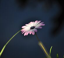 Glowing daisy - Dubbo Zoo by petejsmith