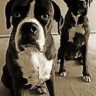What do you mean she&#x27;s right behind me .... -Boxer Dogs Series- by Evita