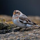 Snow Bunting by Martin Smart