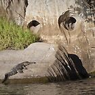 freshwater croc at geikie gorge, wa by col hellmuth