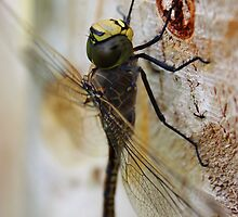 Dragonfly.. by JanelleSilver